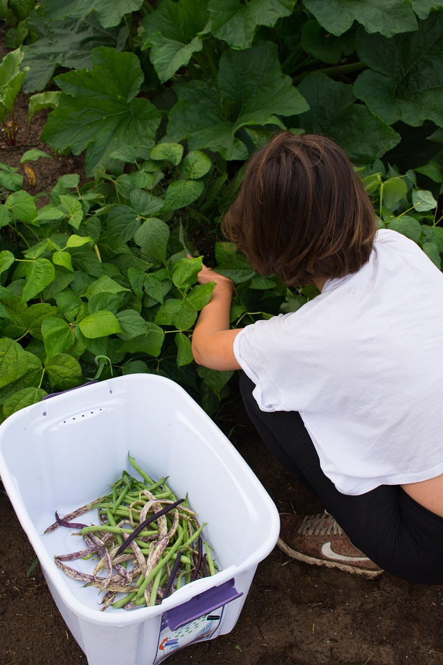 Summer intern Valentine harvests beans at The Spring Farm. Photo by Emily Blackman.