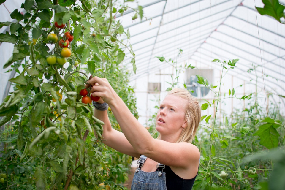 Jenny Spring harvests tomatoes in the greenhouse at The Spring Farm. Photo by Emily Blackman.