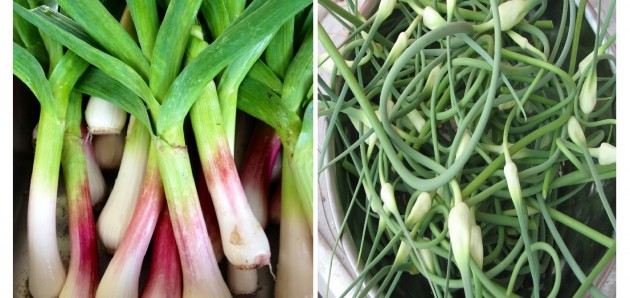 Spring garlic (left) can be harvested in May. Garlic scapes appear in June.