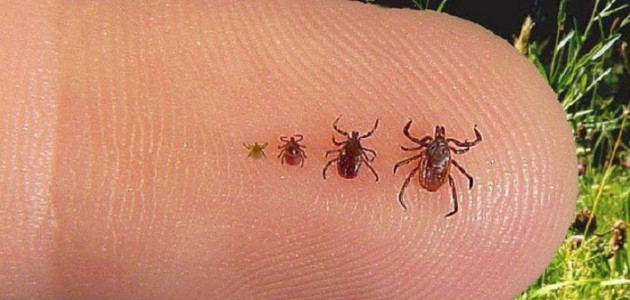 Black legged tick (from left) larva, nymph, adult male, adult female (Photo: California Department of Health)