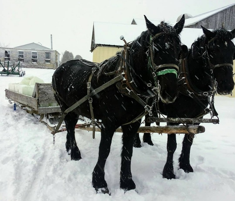 Draft horses are a better option than tractors when it comes to hauling ice (@eatlocalmuskoka / Instagram)